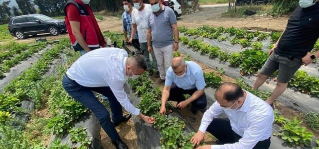 Arsuz'da Çilek Hasadı