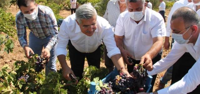 Hassa'da Üzüm Hasadı Yapıldı