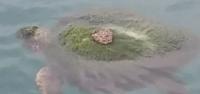 Yosun Tutmuş Caretta Carettayı Balıkçılar Kurtardı