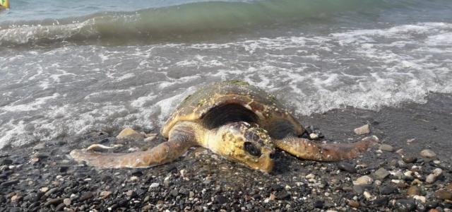 Yaralı Caretta Caretta Kıyıya Vurdu